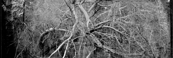 tree_ambrotype